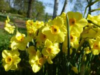 Narcis 'Golden Dawn'