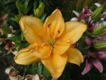 Lilie Double Orange - Asijský hybrid