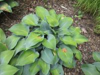Bohyška Devon Blue