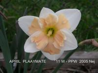 Narcis April Playmate - Papillon narcisy
