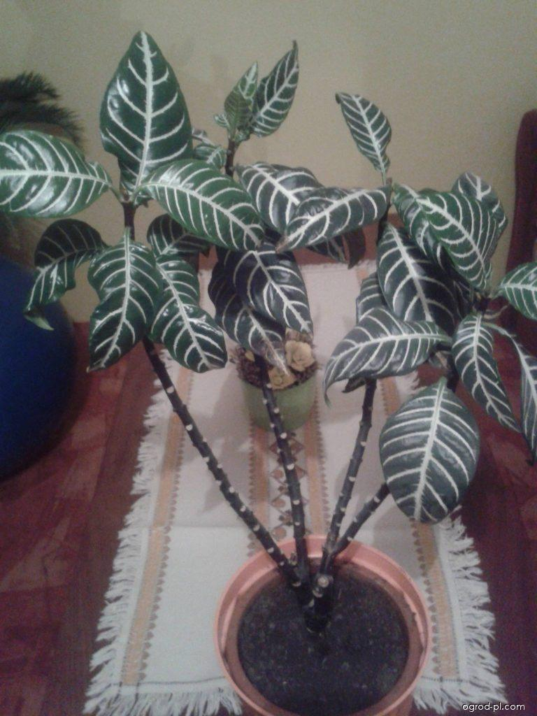 Afelandra drsná (Aphelandra squarrosa)