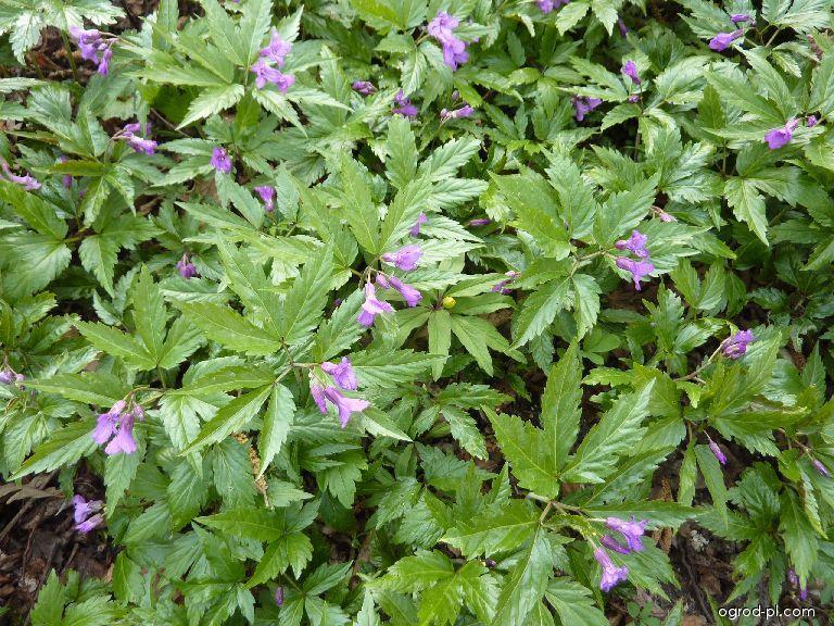 Kyčelnice žláznatá (Dentaria glandulosa)