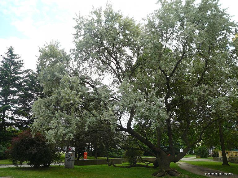 Oliwnik wąskolistny - Elaeagnus angustifolia