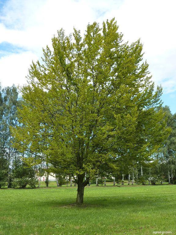 Fagus sylvatica L. (buk zwyczajny) - roślina