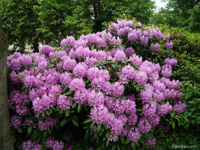 Pěnišník (Rhododendron)