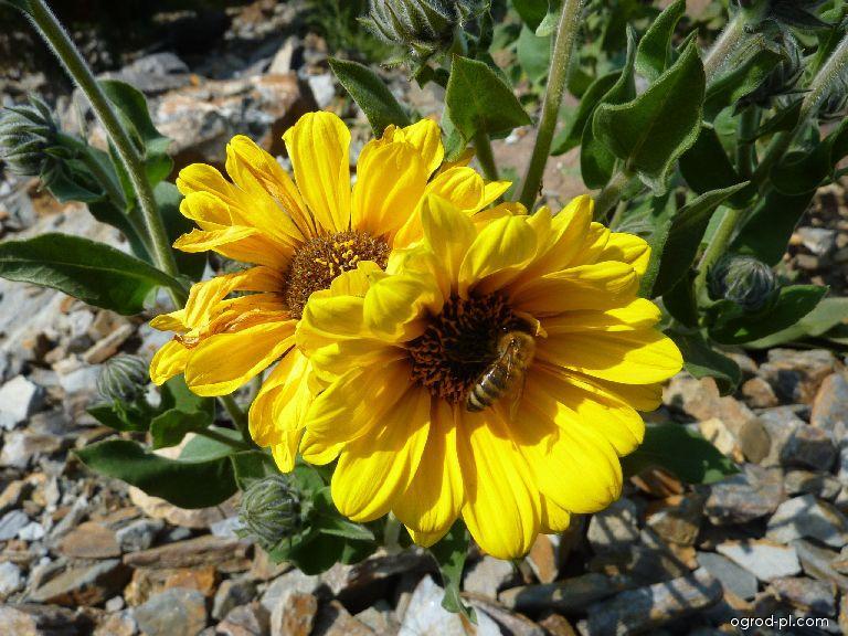 Slunečnice měkká - květ (Helianthus mollis)