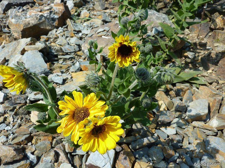 Slunečnice měkká (Helianthus mollis)