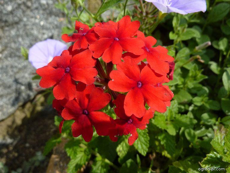 Sporýš - květ (Verbena)