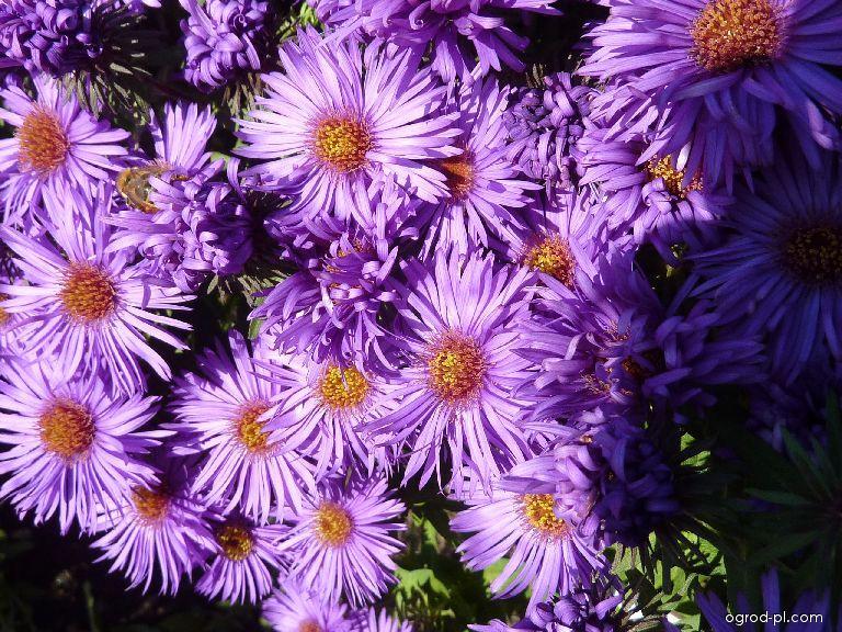 Aster nowoangielski - Symphyotrichum novae-angliae Purple Dome
