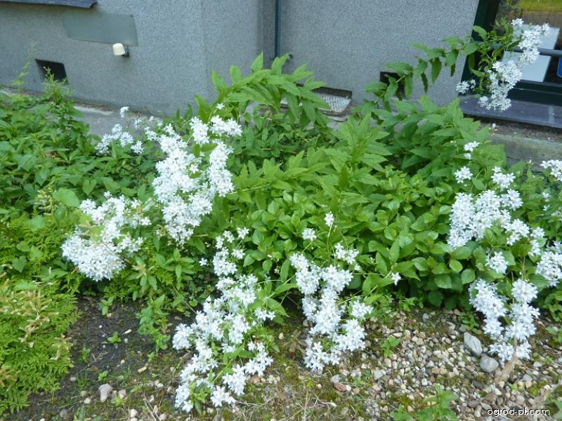 Zvonek (Campanula latifolia Alba)