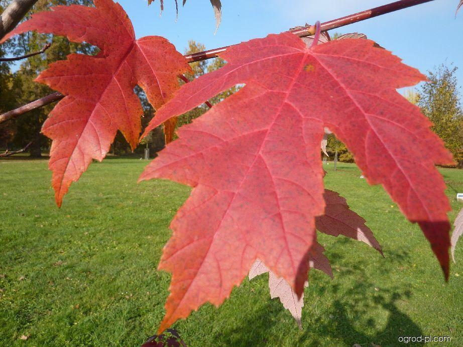Javor Freemanův Autumn Blaze (Acer freemanii)