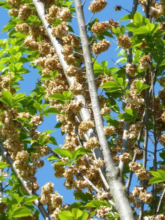 Jilm Lobel - větve s plody (Ulmus Lobel)