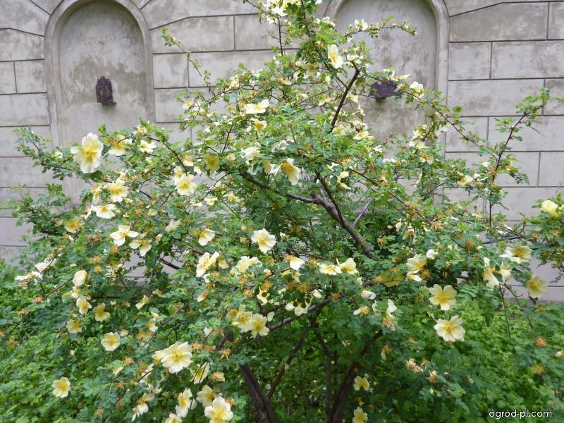 Růže žlutá (Rosa xantina Lindl)
