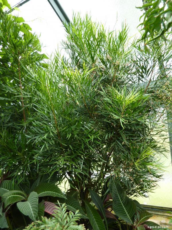 Smuteň (Phyllanthus juglandifolius)