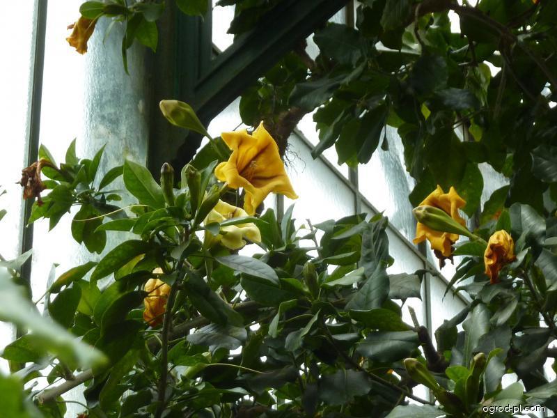 Solandra největší (Solandra maxima)