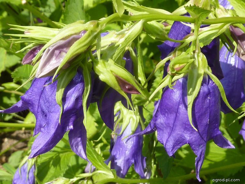 Zvonek Kent Belle (Campanula hybrid)