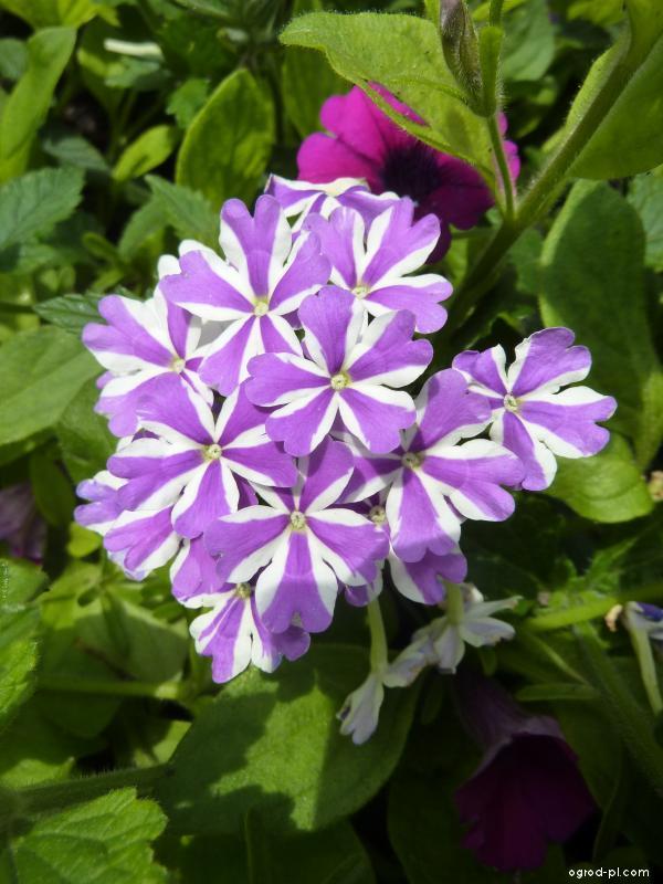 Sporýš zahradní - květ (Verbena x hybrida)
