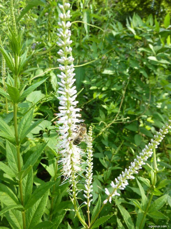 Rozrazil viržinský - květ (Veronicastrum virginicum)