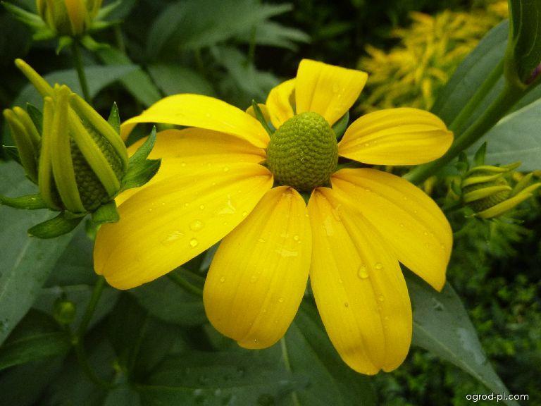 Třapatka dřípatá Goldquelle - květ (Rudbeckia laciniata)