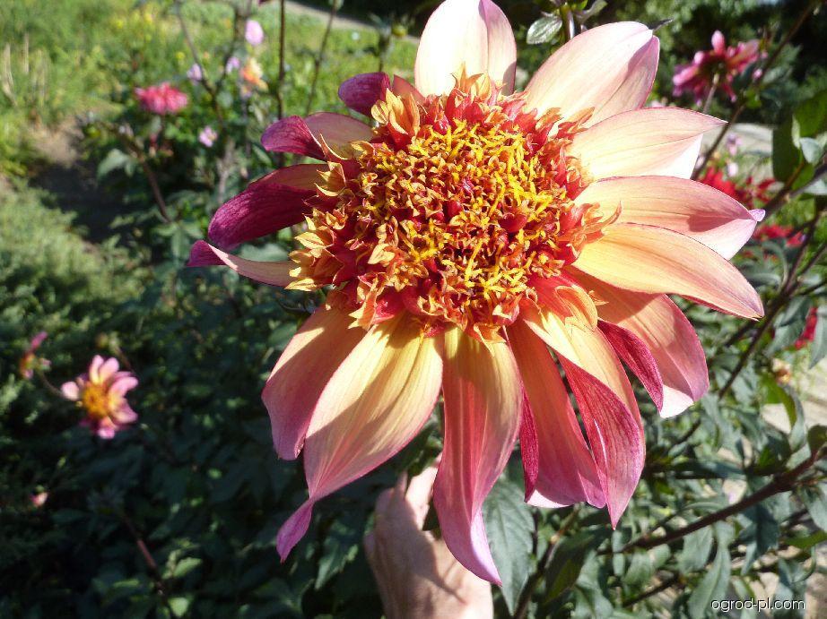 Jiřina - květ (Dahlia)