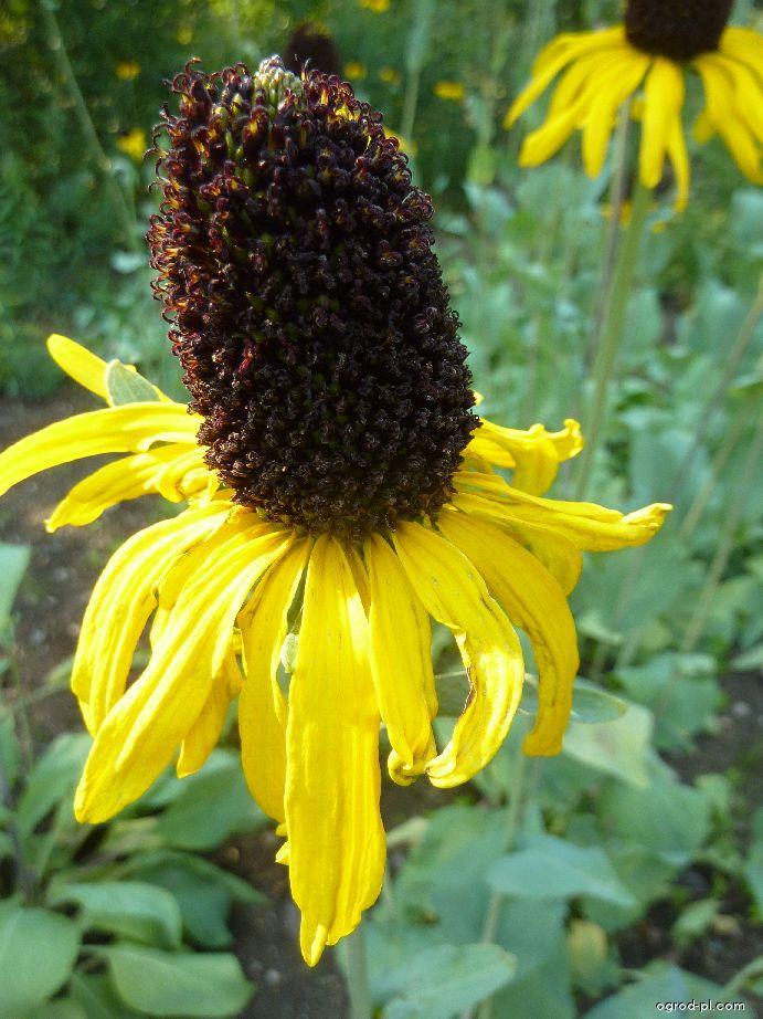Třapatka největší - květ (Rudbeckia maxima)