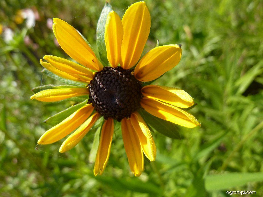 Třapatka - květ (Rudbeckia fulgida var fulgida)