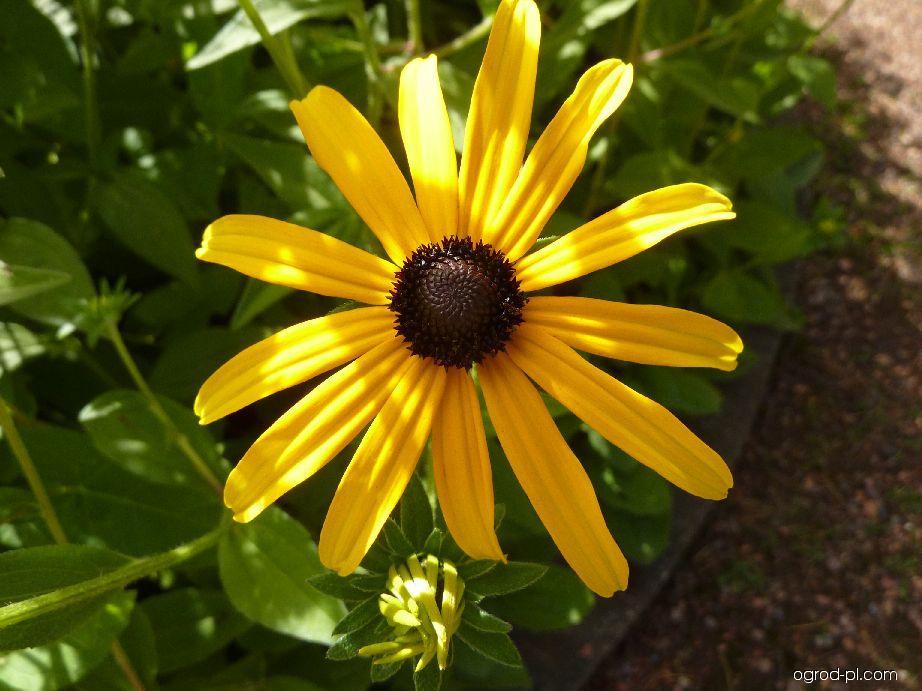 Třapatka - květ (Rudbeckia fulgida var deami)