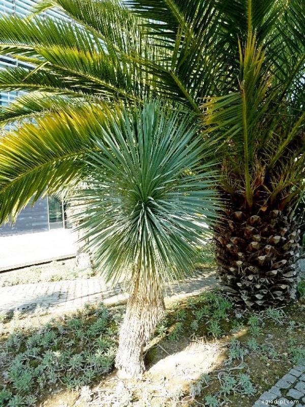 Juka (Yucca rostrata)