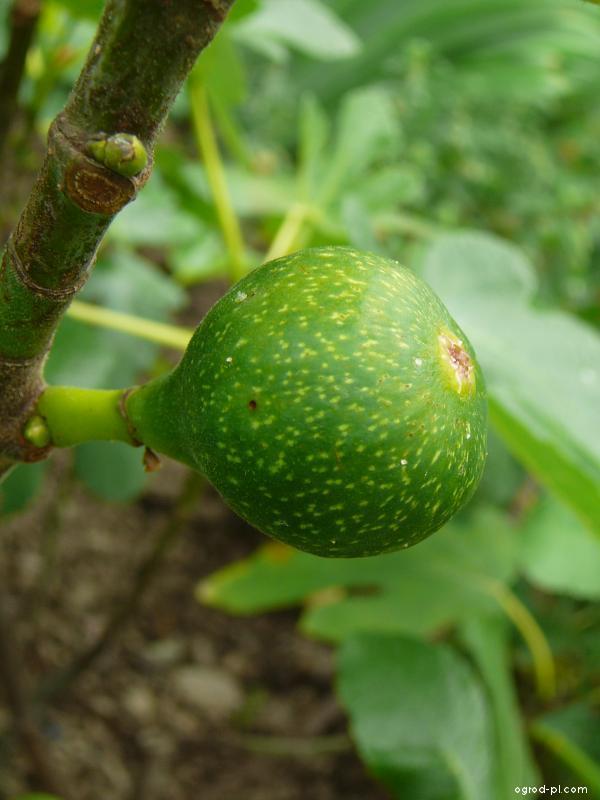 Fíkovník smokvoň - plod (Ficus carica)