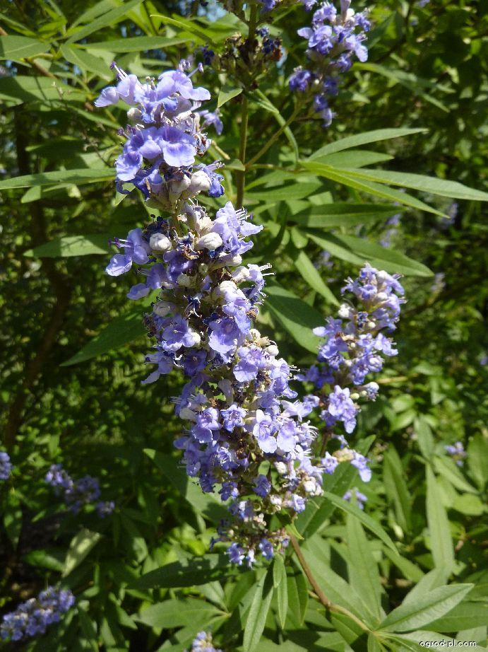 Drmek obecný - květ (Vitex agnus-castus)