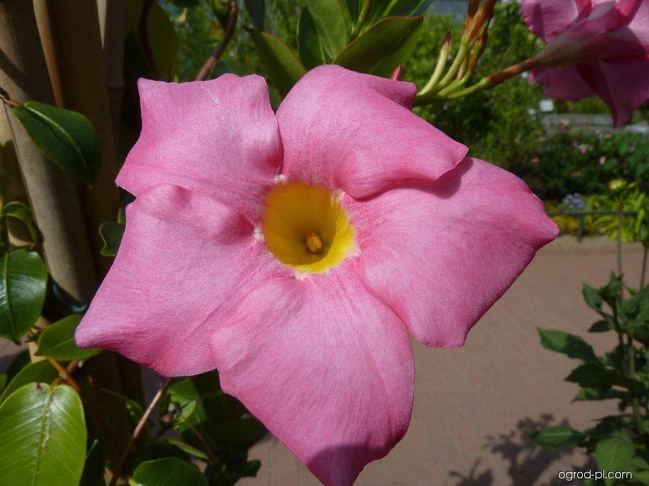 Dipladénie - květ (Dipladenia hybridus)