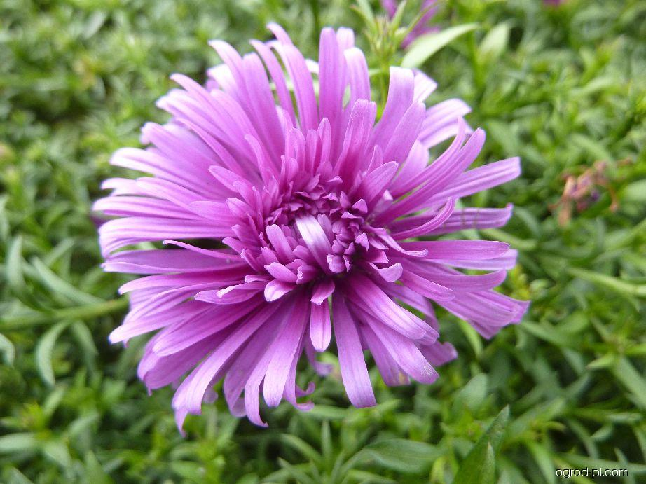 Hvězdnice křovitá Tonga - květ (Aster dumosus)