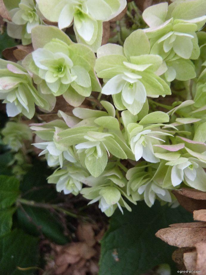 Hortenzie dubolistá Snowflake - květ (Hydrangea quercifolia)