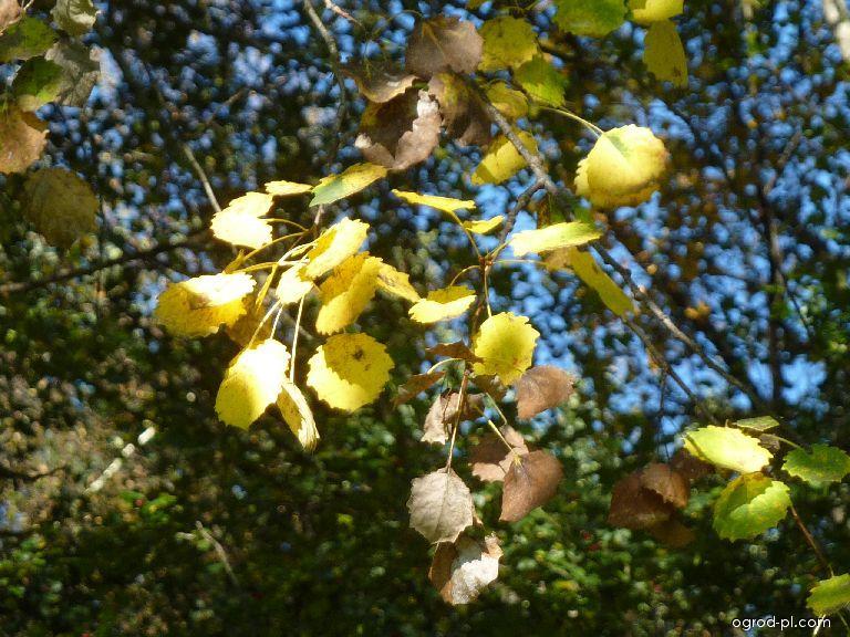 Topol osika - podzimní zbarvení (Populus tremula)