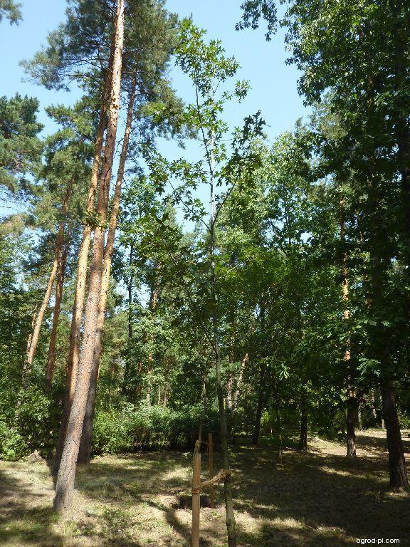 Dub sametový - mladý strom v popředí (Quercus velutina)