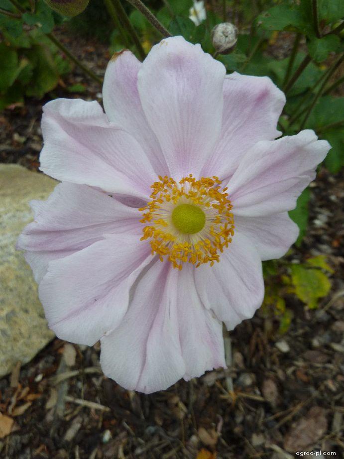 Sasanka japonská - květ (Anemone hupehensis)