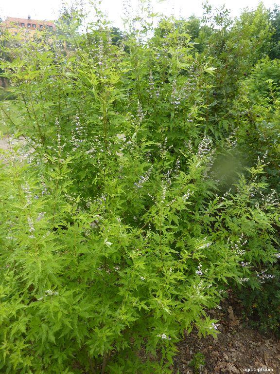 Drmek čínský (Vitex negundo var heterophylla)