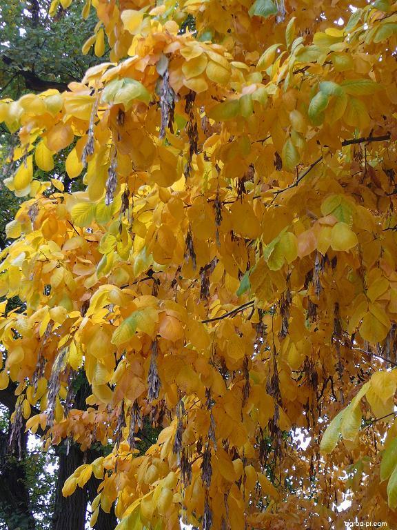 Křehovětvec žlutý - list a plod (Cladrastis kentukea)