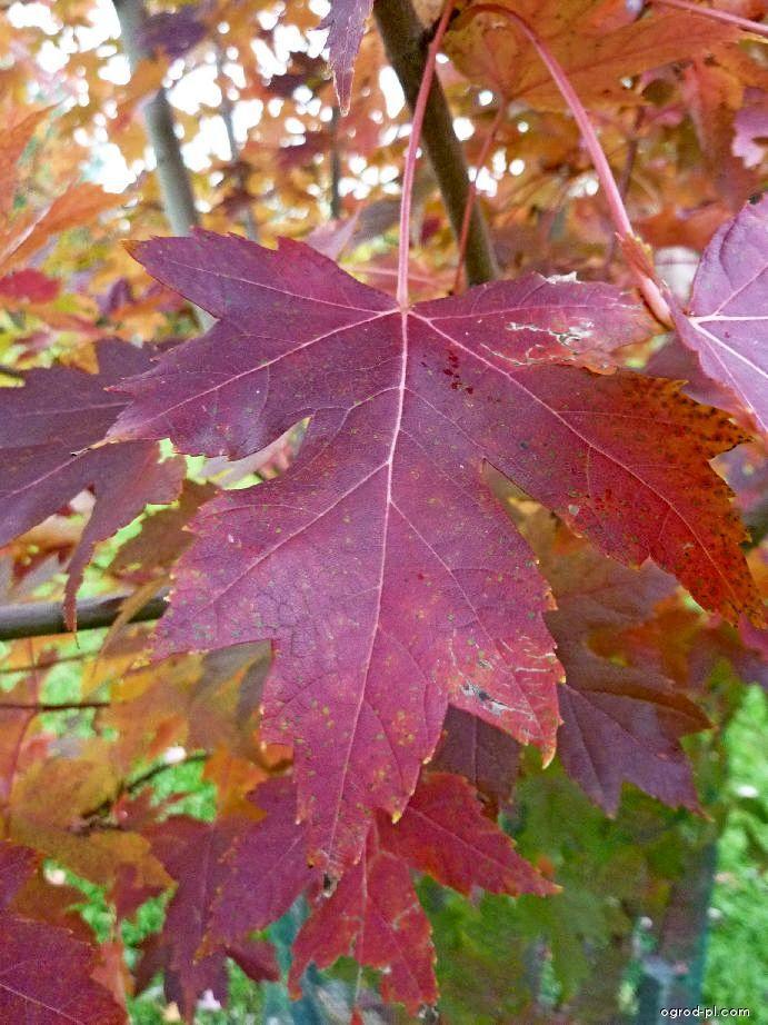 Javor Freemanův Autumn Blaze - podzimní list (Acer freemanii)
