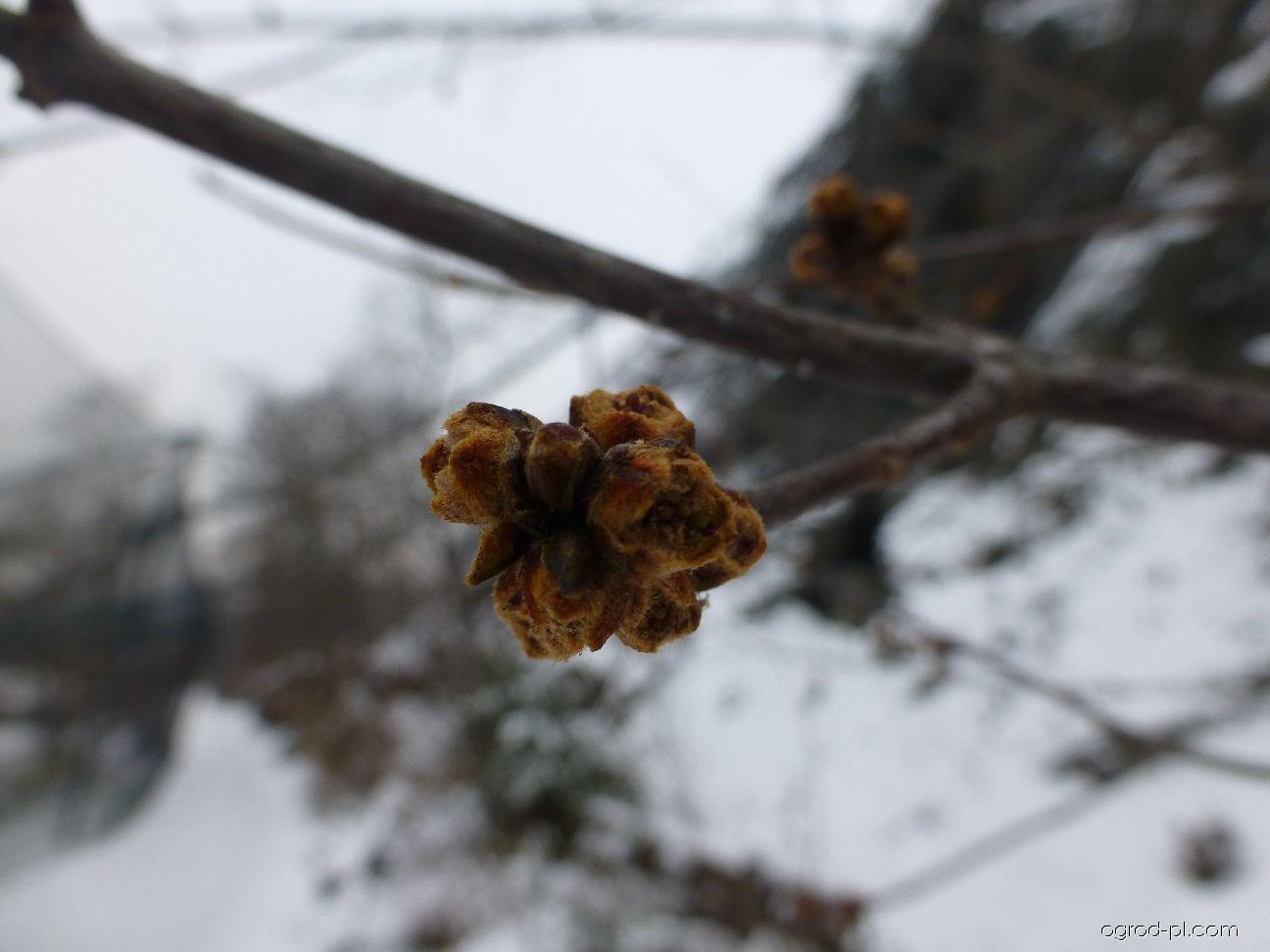 Javor stříbrný - pupeny v lednu (Acer saccharinum)