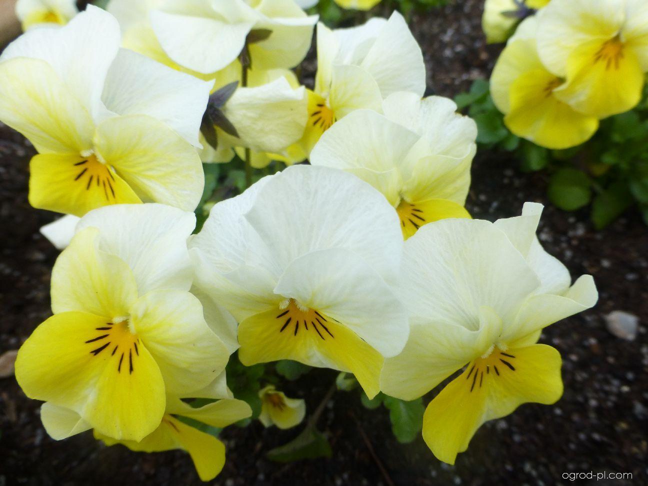Maceška drobnokvětá Twix Primrose - květ (Viola cornuta)