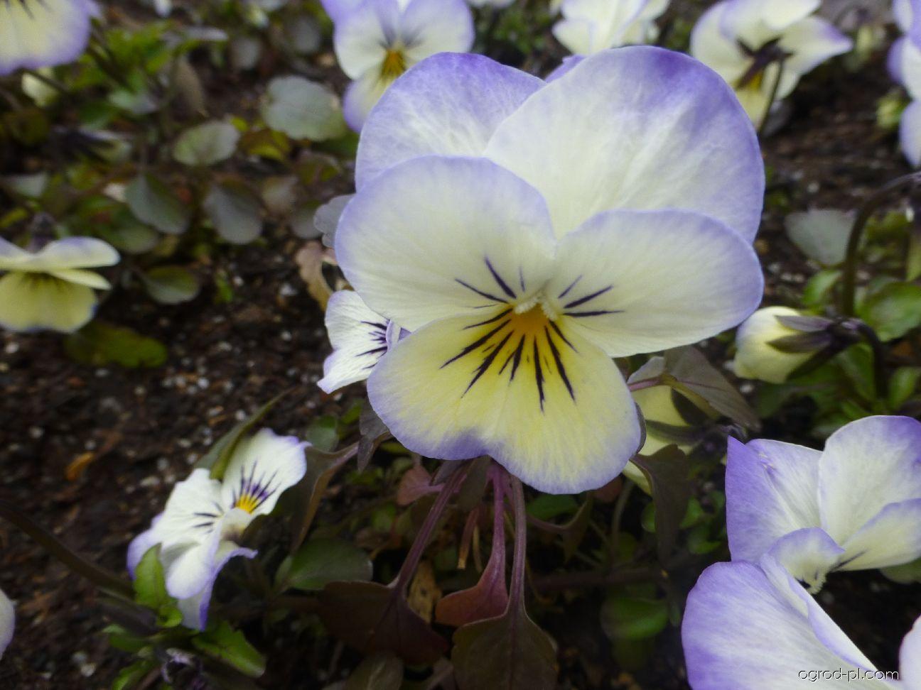 Fiołek rogaty - Viola cornuta Twix Coconut
