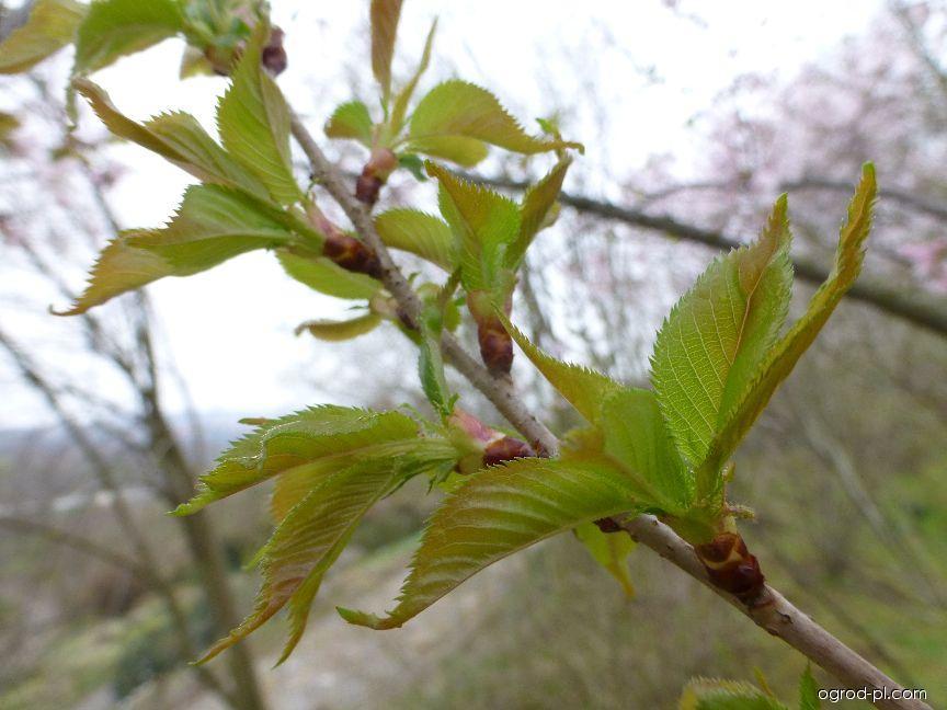 Wiśnia różow - Prunus subhirtella Autumnalis Rosea