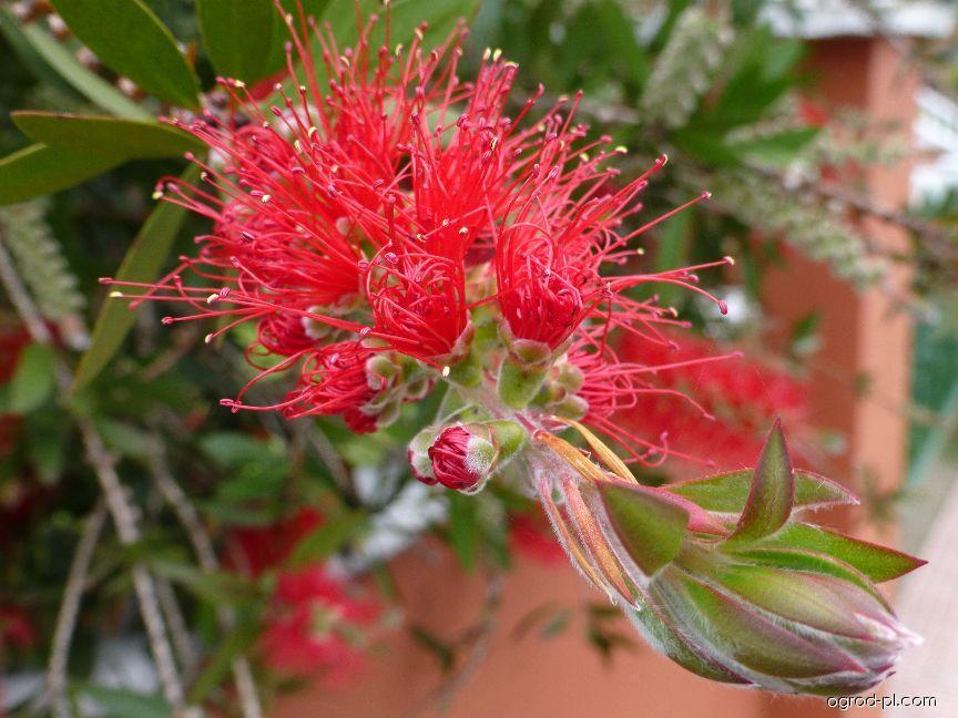Štětkovec citronový - květ (Callistemon citrinus)