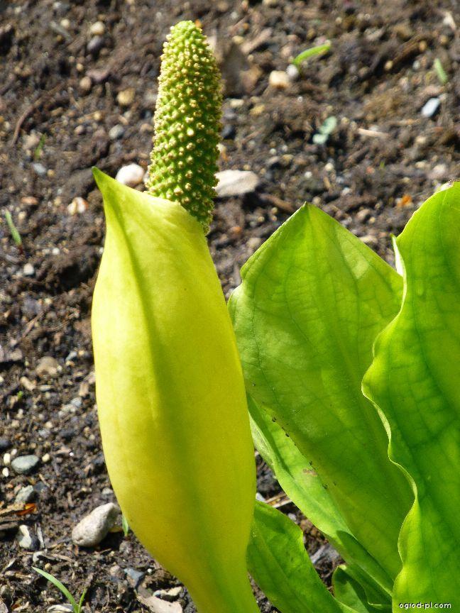 Toulcovka americká (Lysichiton americanus)