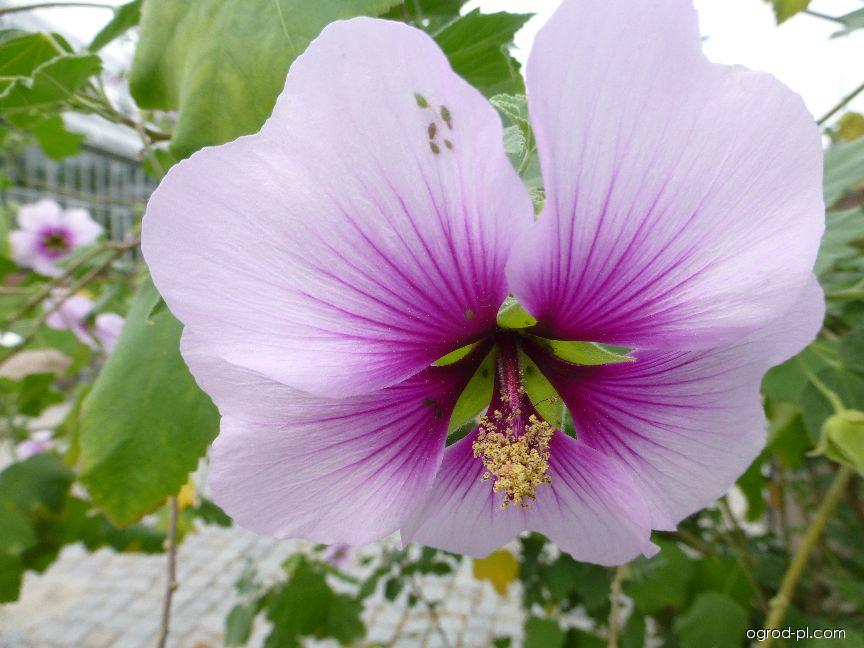 Slézovec přímořský - květ (Lavatera maritima)