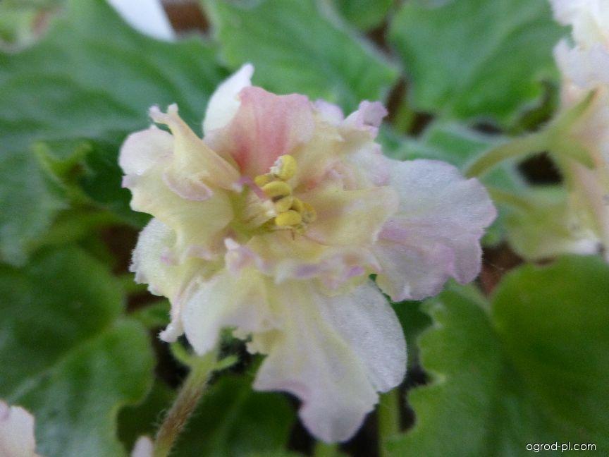 Africká fialka Ajohns Winter Sun - květ (Saintpaulia ionantha)