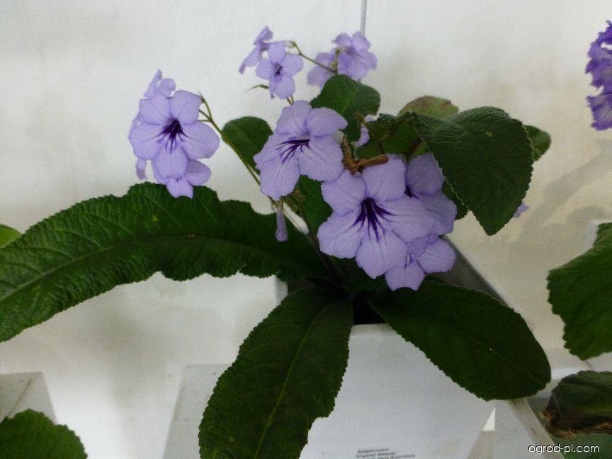 Tořivka Crystal Beauty (Streptocarpus)