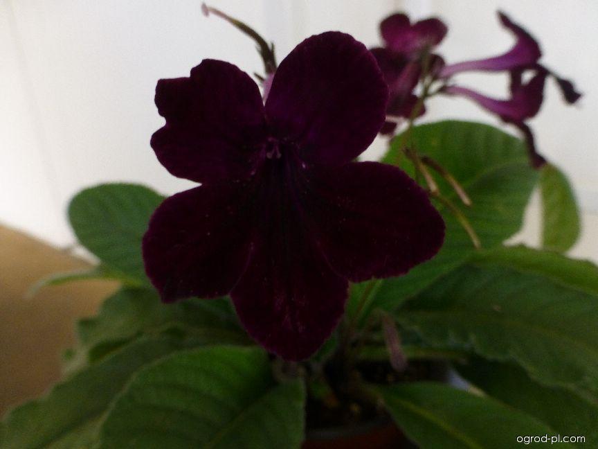 Tořivka Bristols Hey Mei - květ (Streptocarpus)