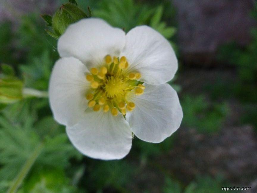 Mochna skalní - květ (Drymocallis rupestris)